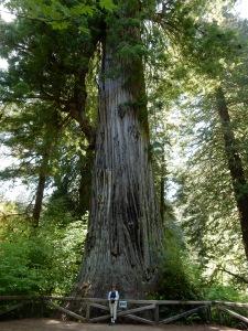 Big Tree (Prairie Creek Redwoods State Park)