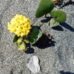 Flower, Vellela Vallela