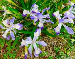 Wild Iris @ Cape Blanco