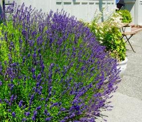 Lavender in Langley