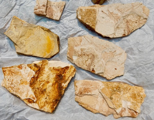 Fossil leaves from Wheeler H.S., Oregon