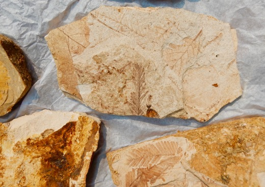 Fossils from Fossil, Oregon